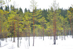 Pine tree forest at winter. Winter landscape in pine tree forest, Karelian isthmus, Russia Stock Photos