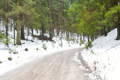 Pine tree forest at winter. Royalty Free Stock Photo