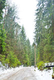 Pine tree forest at winter. Royalty Free Stock Image