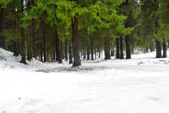 Pine tree forest at winter. Winter landscape in pine tree forest, Karelian isthmus, Russia Royalty Free Stock Photo