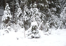 Pine tree forest at winter. Winter landscape in pine tree forest, Karelian isthmus, Russia Royalty Free Stock Photography