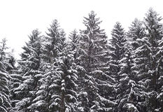 Pine tree forest at winter. Winter landscape in pine tree forest, Karelian isthmus, Russia Stock Photography