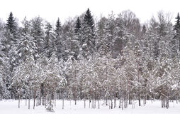 Pine tree forest at winter. Winter landscape in pine tree forest, Karelian isthmus, Russia Royalty Free Stock Photos