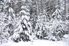 Pine tree forest at winter. Winter landscape in pine tree forest, Karelian isthmus, Russia Royalty Free Stock Images