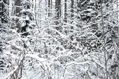 Pine tree forest at winter. Winter landscape in pine tree forest, Karelian isthmus, Russia Royalty Free Stock Image
