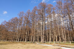 Pine tree forest at winter in Nikko, Japan.  Royalty Free Stock Images