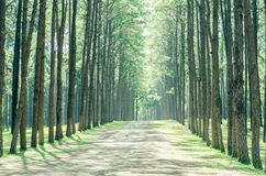 Pine tree forest. In winter season,northern of Thailand Royalty Free Stock Image