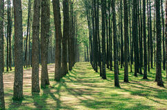 Pine tree forest. In winter season,northern of Thailand Stock Photography