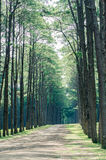 Pine tree forest. In winter season,northern of Thailand Royalty Free Stock Photo