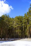 Pine tree forest in winter. View of pine tree forest in winter Stock Photography