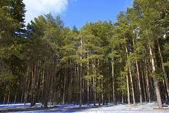 Pine tree forest in winter. View of pine tree forest in winter royalty free stock photography