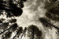 Pine tree forest, Yosemite, Yosemite National Park. Looking up to the top of pine tree forest in Yosemite National Park, Yosemite, California, USA Stock Photos