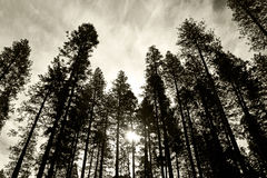 Pine tree forest, Yosemite, Yosemite National Park. Looking up to the top of pine tree forest in Yosemite National Park, Yosemite, California, USA Stock Photo