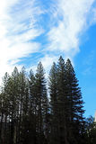 Pine tree forest, Yosemite, Yosemite National Park. Looking up to the top of pine tree forest in Yosemite National Park, Yosemite, California, USA Royalty Free Stock Images