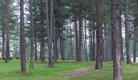 Pine tree forest. On Zlatibor Mountain in Serbia Royalty Free Stock Image