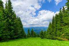 Pine Tree Forrest in the Montains Royalty Free Stock Image