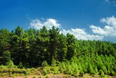 Pine Tree Forrest Royalty Free Stock Photo