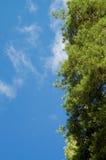 Pine Tree Frame Royalty Free Stock Image