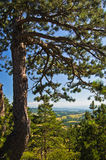Pine tree in front of Divcibare mountain landscape Stock Image