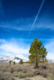 Pine Tree in front of Sierra Nevadas Stock Photography