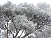 Pine tree in frost Stock Photos