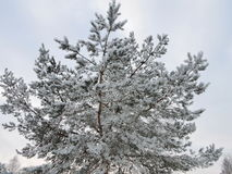 Pine tree in frost Royalty Free Stock Photography
