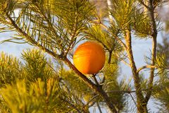 On a pine tree the fruit orange is an incredible phenomenon in the winter forest, a warm fruit and winter Stock Photos