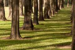 A pine tree garden . A pine tree garden in mine of lignite power station Maemoe, Lamphang province in Northern of Thailand Stock Image