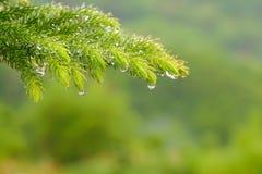 pine tree get wet. Stock Photo