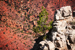 Pine tree in the Grand Canyon Stock Photo