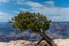 A pine tree at the Grand Canyon. A Lonely Pine tree at the south rim of the Grand Canyon royalty free stock images