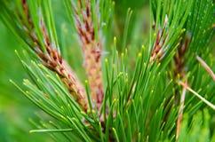 Pine tree Stock Image