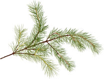 Pine tree green branch isolated illustration. Illustration with pine branch isolated on white background Royalty Free Stock Image