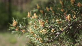 Pine tree with green pine branches. Pine tree needle leaves. Closeup. stock video footage