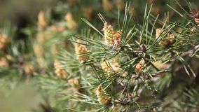 Pine tree with green pine branches. Pine tree needle leaves. Closeup. stock video