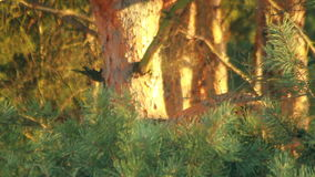 Pine tree with green pine branches. Pine tree needle leaves. Closeup stock video footage