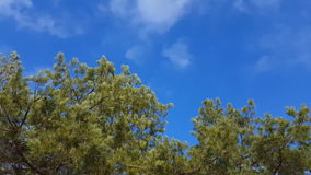 Pine tree with green pine branches. Steadicam shot stock video footage