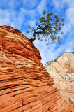 Pine Tree Growing Atop a Sandstone Formation in Zion Stock Photo