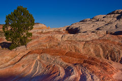 Pine Tree Growing in Colorful Sandstone Formation Stock Image