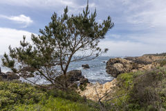 Pine Tree growing on the Monterey Peninsula coast in California Stock Photography