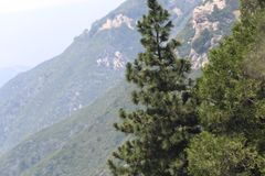Pine Tree in the Mountains royalty free stock photos