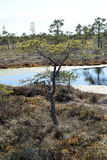 Pine tree growing near waters in a swamp. Stock Photography