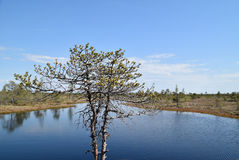 Pine tree growing near waters in a swamp. Stock Photos