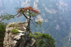 Pine tree grows on cliff Royalty Free Stock Images