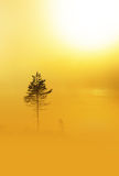 Pine tree in heavy fog at dawn Stock Photos