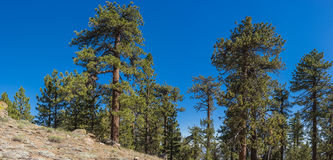 Pine Tree on Hillside Royalty Free Stock Photo