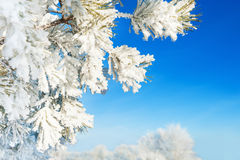 Pine tree with hoarfrost in winter forest against the blue sky. Royalty Free Stock Photography