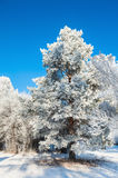 Pine tree with hoarfrost in winter forest Royalty Free Stock Photography