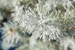 Pine tree with hoarfrost in winter forest. Stock Photo