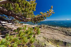 Pine Tree and Horizon Royalty Free Stock Images